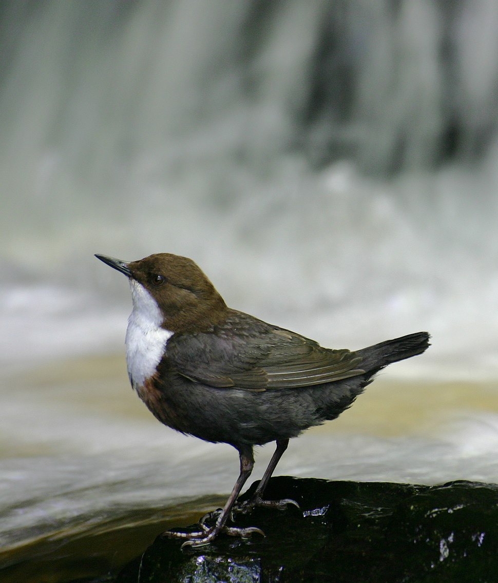 Eurasian White-fronted Dipper, C cinclus