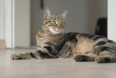 European shorthair procumbent Quincy.jpg