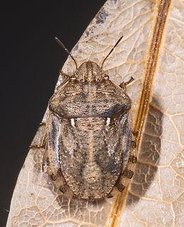 <i>Eurygaster maura</i> Species of insect (tortoise bug)