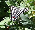 Eurytides marcellus 1 - Desert Botanical Garden.jpg