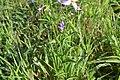 Exacum bicolor 05 Leaves.jpg