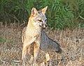 FOX, GRAY (urocyon cineroargenteus) (7-19-08) canet rd, morro bay, slo co, ca -4 (2687020907).jpg