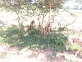 FULANI HUNTING DOGS IN FALGORE FOREST KANO STATE (7).jpg