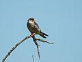 Falco amurensis Kruger 1.jpg