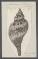 Fasciolaria tulipa - - Print - Iconographia Zoologica - Special Collections University of Amsterdam - UBAINV0274 084 03 0002.tif