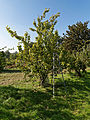 Feeringbury Manor garden orchard pear tree, Feering Essex England.jpg