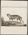 Felis tigrina - 1775-1781 - Print - Iconographia Zoologica - Special Collections University of Amsterdam - UBA01 IZ22100238.tif