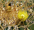 Ferocactus glaucescens 2.jpg