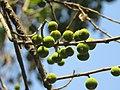 Ficus exasperata fruits at Mayyil 2019 (3).jpg