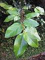 Ficus pumila - Climbing fig at Thenmala 2014 (2).jpg