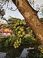 Ficus racemosa 05.jpg