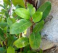 Ficus thonningii, loot met blare, d, Waterberg.jpg