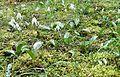 Field of Erythronium oregonum - Flickr - brewbooks.jpg
