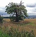 Field with Blasted Oak - geograph.org.uk - 1441143.jpg