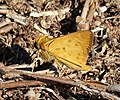 Fiery Skipper. Hylephila phyleus (23998727508).jpg