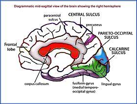 Partes del cerebro (en inglés).