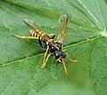 Figwort Sawfly. Tenthredo scrophularidae (35862800726).jpg