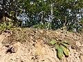 Filago arvensis sl62.jpg