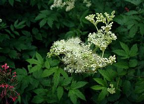 Description de l'image  Image:Filipendula-ulmaria.JPG.
