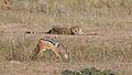 Five cheetahs were feeding on a Springbok kill one morning in the Kgalagadi. (34376900112).jpg