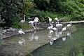 Flamant rose (Zoo Amiens).JPG