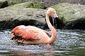 Flamingo (7183164626).jpg