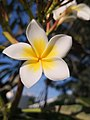 Fleur de frangipanier de l'etang salé.jpg