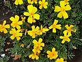 Fleurs jaune maroc.JPG