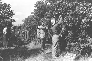 Na'an - Kibbutz Na'an orange groves, 1938