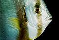 Flickr - JennyHuang - Batfish close-up.jpg