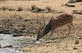Flickr - Rainbirder - Cheetal Stag.jpg