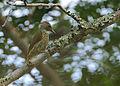 Flickr - Rainbirder - Mombasa Woodpecker (Campethera mombassica) (1).jpg