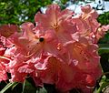 Flickr - brewbooks - Rhododendron and Bee - John M's Garden (1).jpg