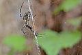 Flickr - ggallice - Orb-weaver spider (3).jpg