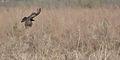 Flickr - ggallice - Turkey vulture.jpg