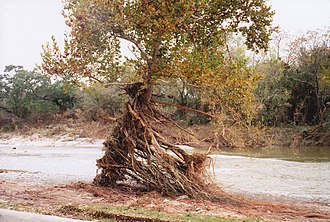 San Gabriel River (Texas) - Image: Flood damage, tree in Blue Hole Park, Georgetown, TX Nov 2001