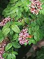 Flor de Carambola (2081856472).jpg