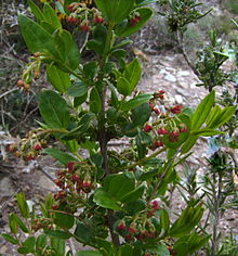 Coriaria myrtifolia with red fruits