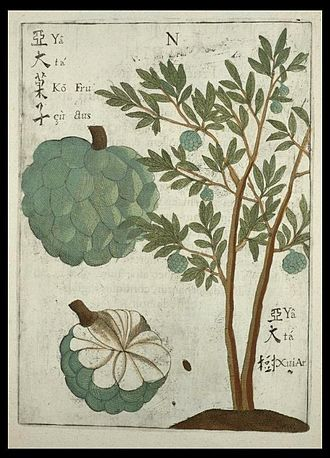 Sugar-apple - Michał Boym's drawing of, probably, the sugar-apple in his Flora Sinensis (1655)