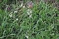 Flora della Sardegna 247 (03).jpg