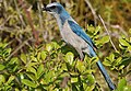 Florida-Buschhäher (Aphelocoma coerulescens) lat. B. Walker.jpg