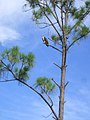 Florida Eagle in a Tree - panoramio.jpg
