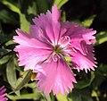 Flowers - Uncategorised Garden plants 299.JPG