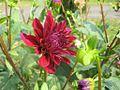 Flowers of Bangladesh09.jpg