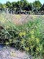 Foeniculum vulgare Habitus 15July2009 ParqueNaturalLagunasdelaMata.jpg