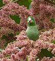 Forpus conspicillatus (Perico de anteojos) - Flickr - Alejandro Bayer (2).jpg
