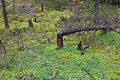 Forst Rundshorn IMG 1438.jpg