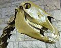 Fossil horse skull.jpg