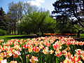 Foster Park tulips, Fort Wayne, Indiana, May 2014.jpg