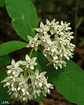 Four-leaf Milkweed - Flickr - pellaea.jpg